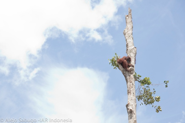 An orangutan hanging on to a lone tree above the forest that has been cleared for palm oil. Photo Credit: Environmental Investigation Agency/IAR Indonesia/Alejo Sabugo