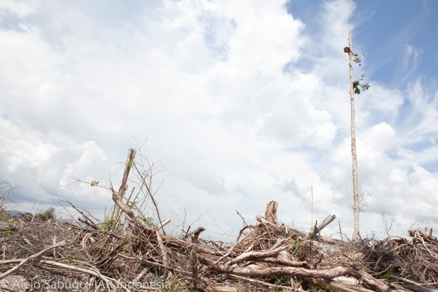 All that remains in this area of the Indonesian Borneo forest cleared for palm oil. A starving orangutan can be seen clinging to a single tree. Photo Credit: Environmental Investigation Agency/IAR Indonesia/Alejo Sa