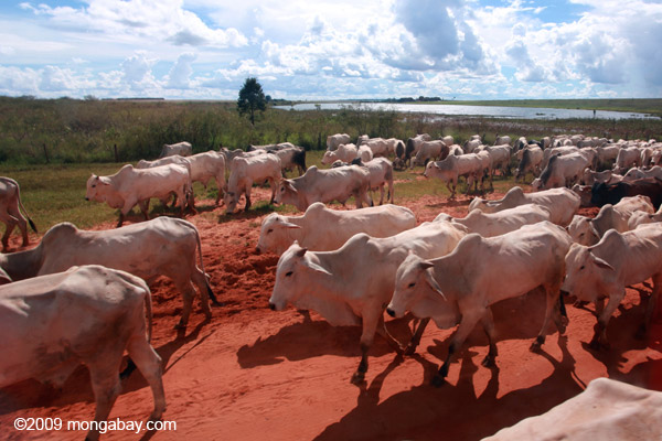 Herd of cattle in what once was the Brazilian Amazon. Photo Credit: Rhett A. Butler/Mongabay